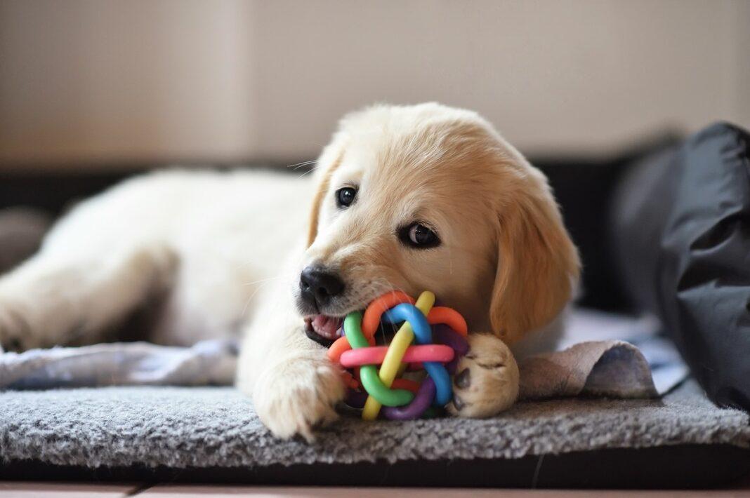 Chiot avec un jouet